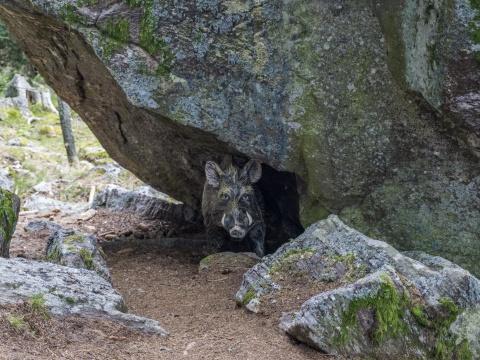 Ebersteiner Wildschweinpfad